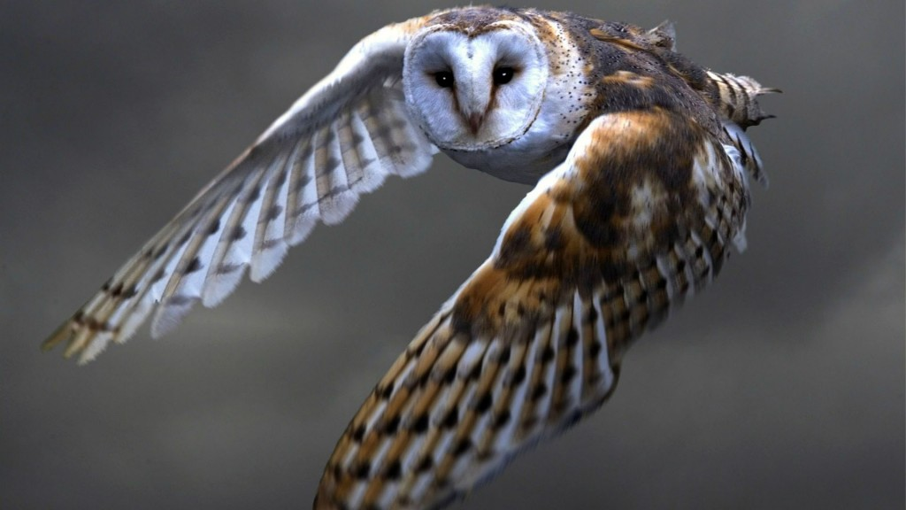 barn_owl_excellent